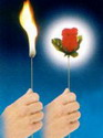 FLAMING TORCH TO ROSE